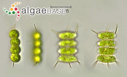 Sargassum patens var. rodgersianum (Harvey) Grunow