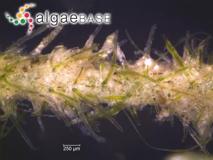 Pinnularia stauroptera var. interrupta Cleve