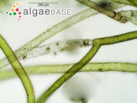 Thamnoclonium flabelliforme Sonder