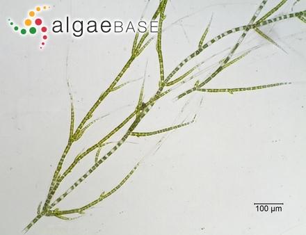 Grateloupia australis J.Agardh ex Gepp & Gepp