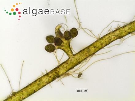 Fucus selaginoides Linnaeus