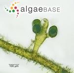 Vaucheria verticillata Meneghini