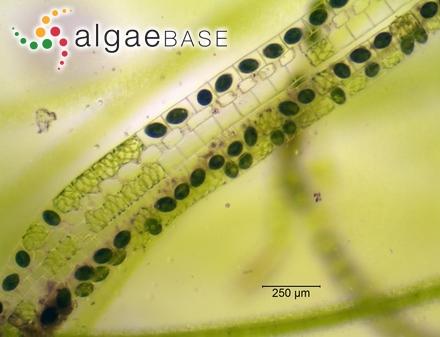 Trematocarpus concinnus (R.Brown ex Turner) De Toni