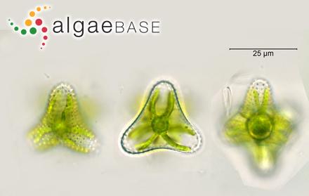 Sphaerococcus concinnus (R.Brown ex Turner) C.Agardh