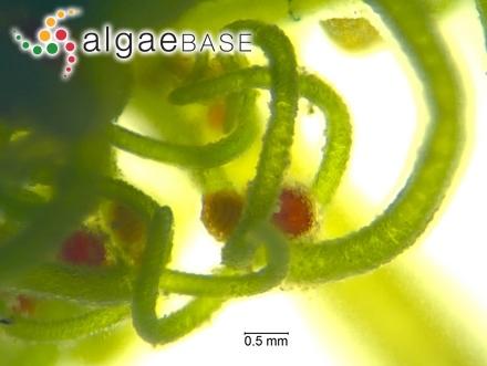 Peltasta australis J.Agardh