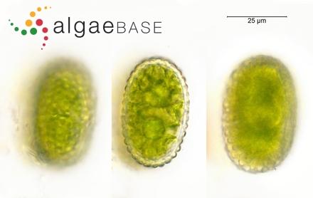 Polysiphonia rosea Greville