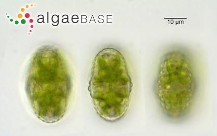 Polysiphonia ramellosa Kützing