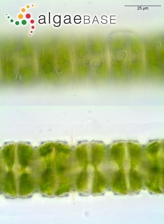 Desmidium grevillei (Kützing ex Ralfs) De Bary