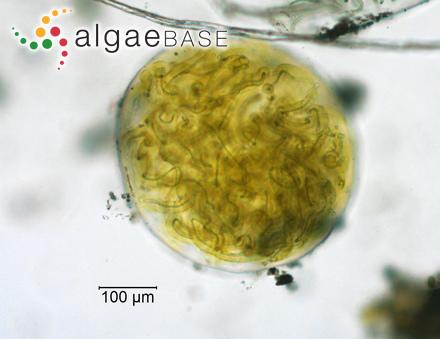 Dermatolithon caspicum (Foslie) Zaberzhinskaya