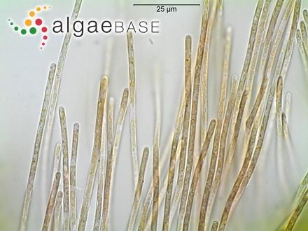 Laminaria saccharina f. borealis Foslie