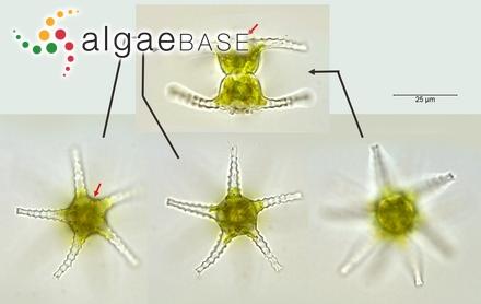 Phyllaria lorea (Bory) Kjellman