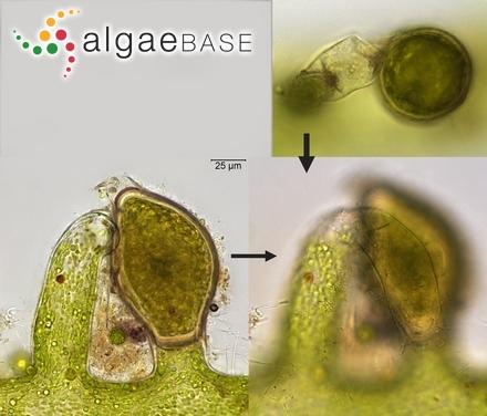 Chordaria flagelliformis f. densa Farlow