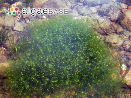 Calothrix aeruginea Thuret ex Bornet & Flahault