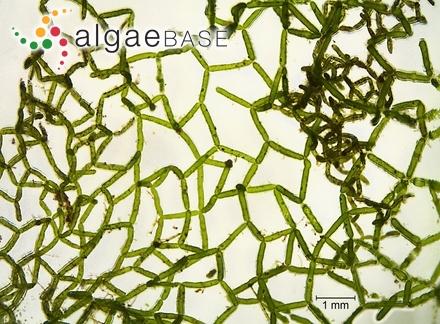 Fremyella vitiensis (Askenasy) De Toni fil