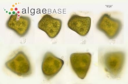 Anabaena circinalis Rabenhorst ex Bornet & Flahault