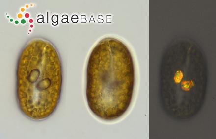 Entophysalis violacea Weber Bosse