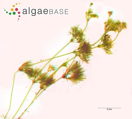 Hyella caespitosa var. arbuscula Al-Thukair & Golubic
