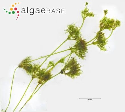 Hyella conferta Al-Thukair & Golubic