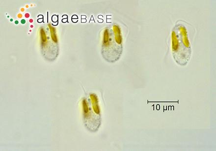 Corallina prolifera J.V.Lamouroux