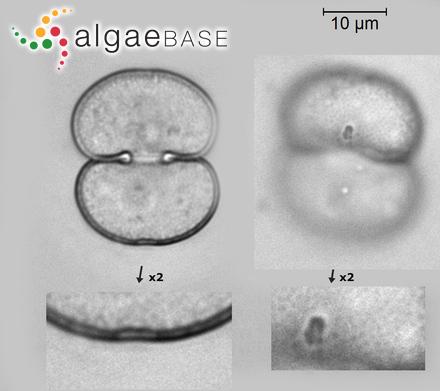 Jania rosea (Lamarck) Decaisne