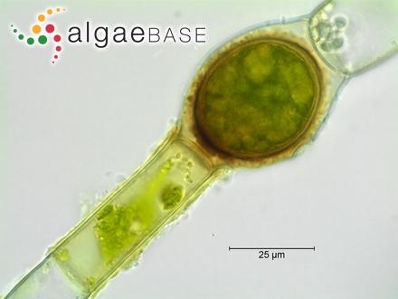 Ahnfeltia yamadae (Segawa) Mikami