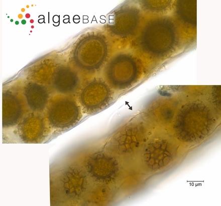 Oscillaria versicolor G.Martens