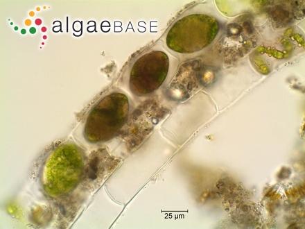 Arthrospira platensis Gomont