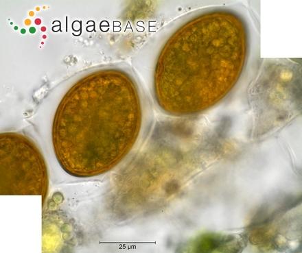 Lyngbya glutinosa C.Agardh