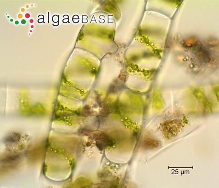 Hydrocoleum lenormandii G.Martens