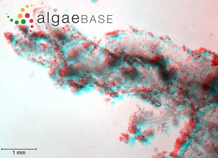 Melobesia farinosa f. mauritiana Foslie