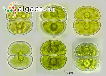 Cavinula lacustris (W.Gregory) D.G.Mann & Stickle