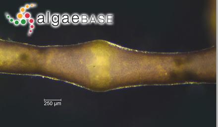Sargassum herporhizum Setchell & N.L.Gardner