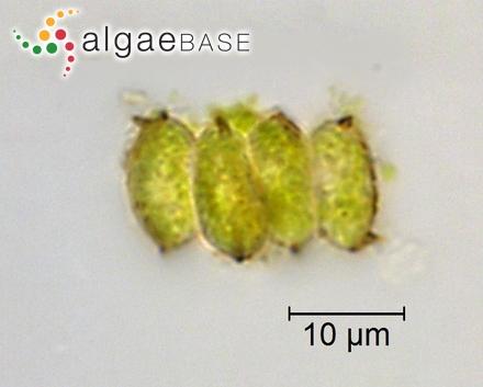 Gracilaria vivesii Howe