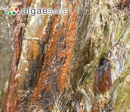 Laurencia obtusiuscula var. corymbifera Setchell & Gardner
