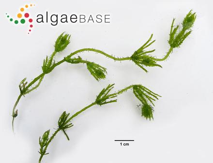Plumaria striata (Harvey) Kuntze