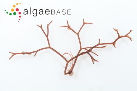 Lophosiphonia hayashii Segawa