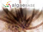 Calothrix confervicola C.Agardh ex Bornet & Flahault