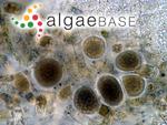 Asperococcus compressus A.W.Griffiths ex W.J.Hooker