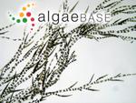 Ectocarpus siliculosus (Dillwyn) Lyngbye