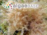 Stilophora rhizodes (C.Agardh) J.Agardh