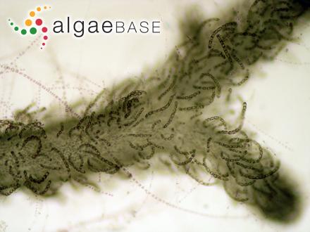 Rytiphlaea angusta Okamura