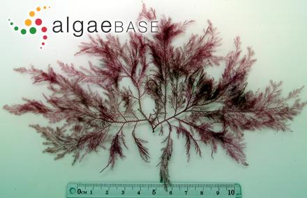 Boodleopsis siphonacea A.Gepp & E.S.Gepp