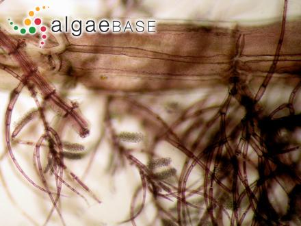Brongniartella byssoides (Goodenough & Woodward) F.Schmitz