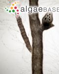 Ulva capillaris Hudson