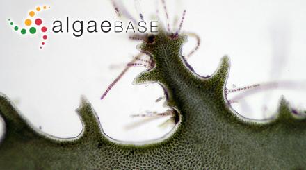 Gracilaria radicans (Bory) Montagne