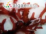 Sphaerococcus repens C.Agardh