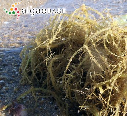 Polycavernosa subtilis B.M.Xia & I.A.Abbott
