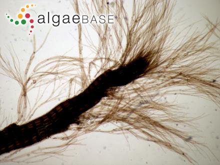 Acrotylus prismaticus (J.Agardh) J.Agardh
