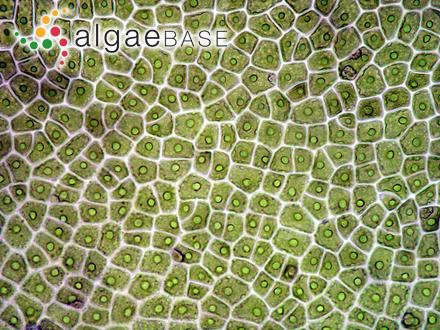 Wrangelia australis (J.Agardh) E.M.Gordon