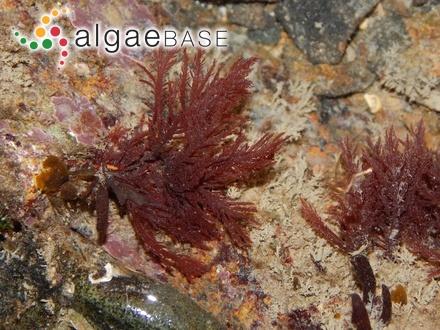 Enteromorpha nana var. subsalsa (Kjellman) Sjöstedt